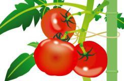 采摘西红柿时间及技巧 洋柿子番茄储存方法